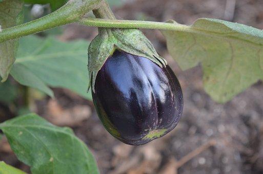 Eggplant, Harvest, Organic, Summer, Vegetable, Nature
