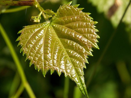 Leaf, Green, New, Growth, Growing, Small, Tiny, Foliage