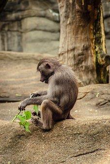 Baboon, Papio, Hamadryas, Monkey, Old World Monkey
