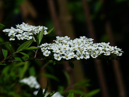 Bride Spiere, Ornamental Shrub, Flowers, White