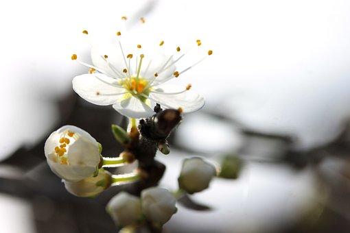 Blackthorn Blossom, Spring, Plant, Nature