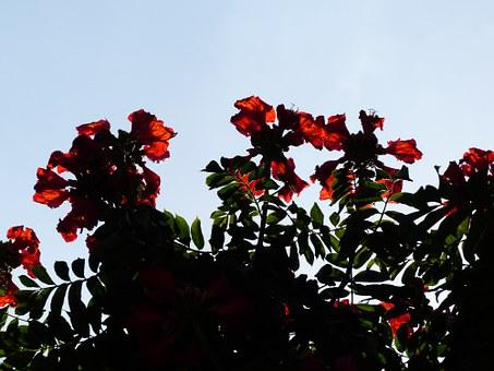 Tulip Tree, Flowers, Red, Bright, African Tulpenbaum