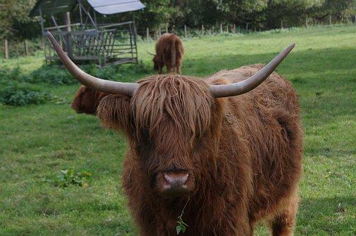 Highland Cattle, Highland Cow, Rind, Grassland, Green