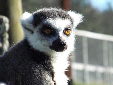 Lemur, Ring-tailed, Primate, Animal, Monkey
