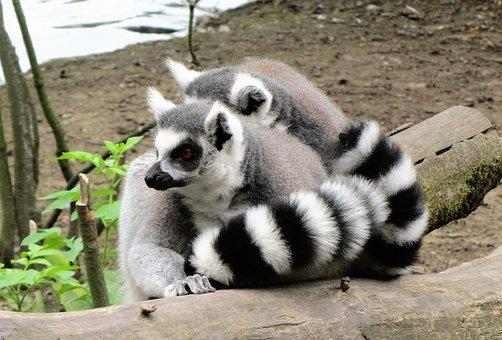 Zoo, Ring-tailed Lemur, Monkey, Monkeys, Little Monkey