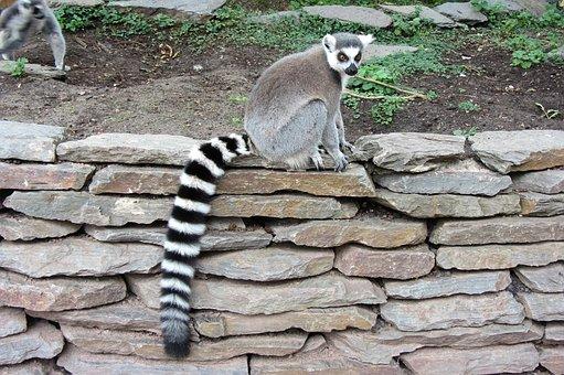 Ring-tailed Lemur, Long Tail, Monkey, Black White