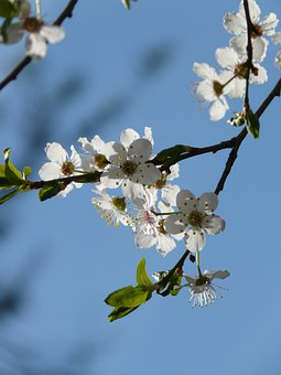 Wild Plum, Blossom, Bloom, Tree, Road