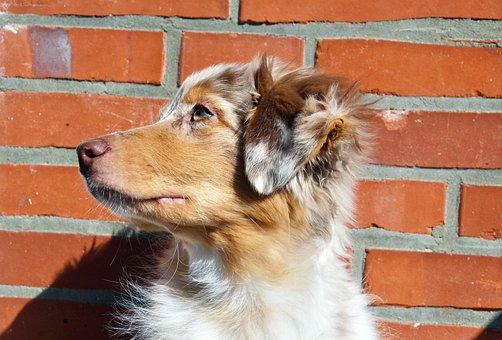 Australian Shepherd, Dog, Pet, Shepherd, Canine, Animal