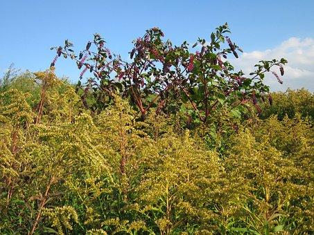 Phytolacca Americana, Pokeweed, Solidago Canadensis
