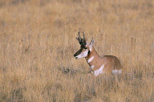 Peninsularis, Americana, Antilocapra, Specie, Mammal