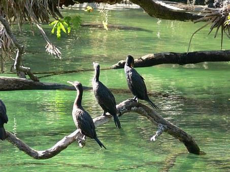 Cormorants, Birds, Springs, Water, Wild, Wildlife