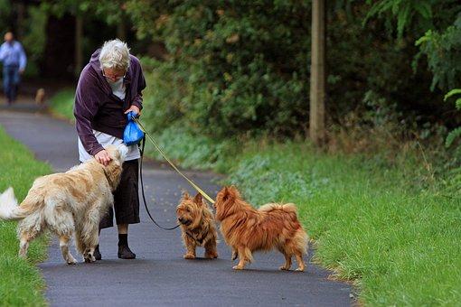 Australian Terrier, Terrier, Spitz, Golden Retriever