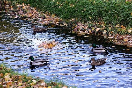 Ducks, Duck Pairs, Water, Village Creek, Couple