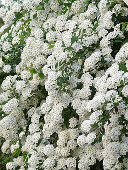Glory Spierstrauch, Flowers, White, Hedge