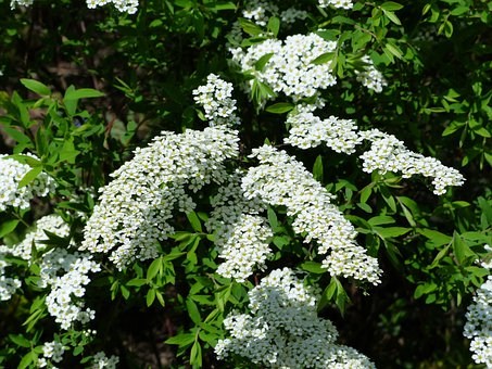 Bride Spiere, Bush, Ornamental Shrub, Flowers, White
