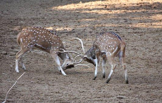 Deers, Animal, Wild, Wildlife, Mammal, Cute, Elk