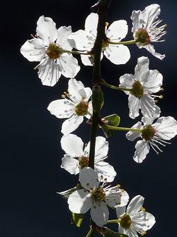 Wild Plum, Blossom, Bloom, Back Light, Tree, Branch