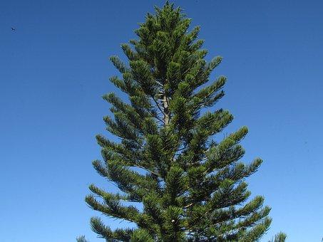 Pine, Tree, Pine Branch, Fall, Pine Needles, Winter
