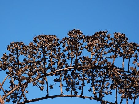 Inflorescences, Ornamental Shrub, Withered, Dry