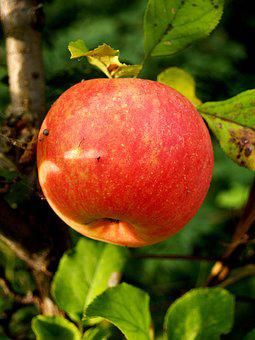Apple, Fruit, Autumn, Sad, Fruit Tree