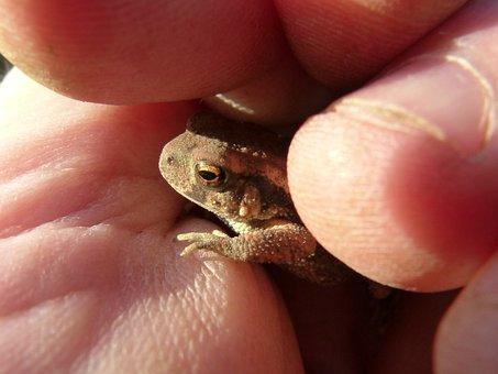 Toad, Sapito, Small, Hand, Tiny, Protection, Batrachian