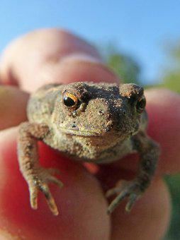 Toad, Sapito, Batrachian, Small, Hand, Hunted
