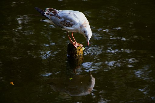 Seagull, Water, Mirroring, Mirror Image, River, Bird