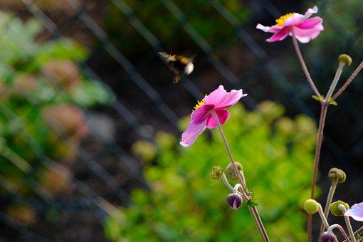 Anemone, Blossom, Bloom, Hummel, Fly, Flower