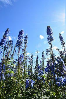Sky, Flowers, Tall, Blue, White, Cloud, Green