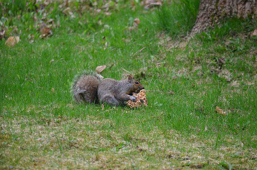 Squirrel, Eating, Mammal, Brown, Wildlife, Small