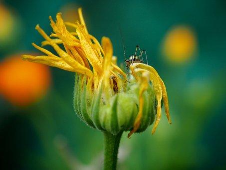 Marigold, Blossom, Bloom, Faded, Grasshopper, Orange