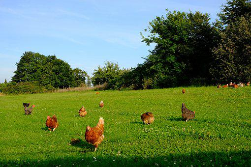 Chickens, Poultry, Animal, Happy Hens, Farm, Livestock