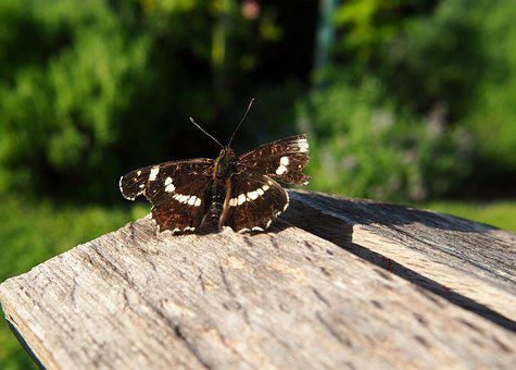 Butterfly, Wood, Nature, Garden, Insect, Public Record