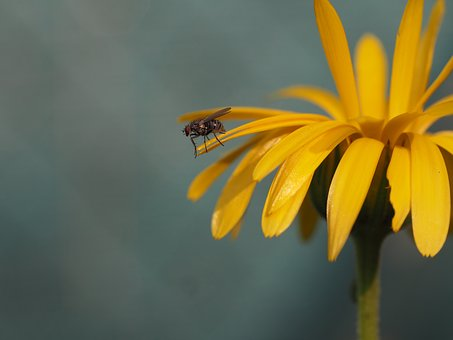 Fly, Insect, Yellow, Flower, Nature, Garden, Close