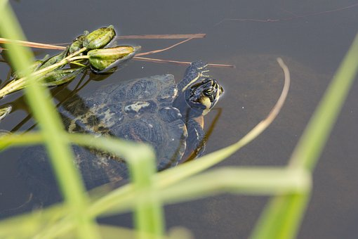 Turtle, Nature, Water, Animal, Grass, Garden, Reptile
