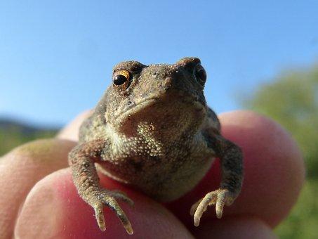 Toad, Sapito, Small, Hand, Tiny, Batrachian, Bufo Bufo