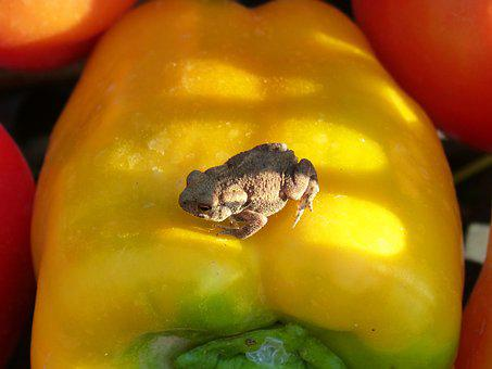 Toad, Vegetables, Small, Bufo Bufo, Sapito, Batrachian
