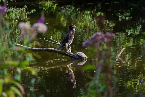 Cormorant, Turtle, Lake, At The Pond, Water