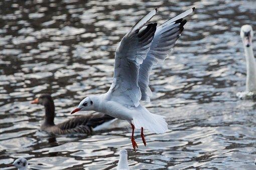 Seagull, Water, Flying, River, Bird, Sea, Animal, Wind