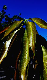 Manggo Shoots, Shoots, Leaves, Plants, Agriculture
