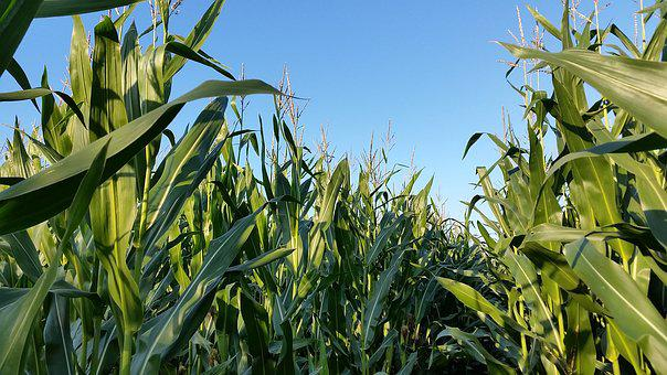 Cornfield, Monoculture, Landscape, Agriculture