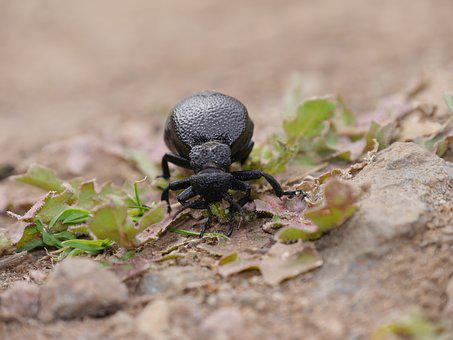Beatle, Black Beatle, Beetle, Canary Islands, Nature