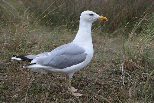 Seagull, Beach, Bird, Bill, Sea, Baltic Sea, Most Beach