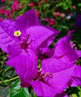 Bougainvillea, Flower, Purple, Plants, Floral