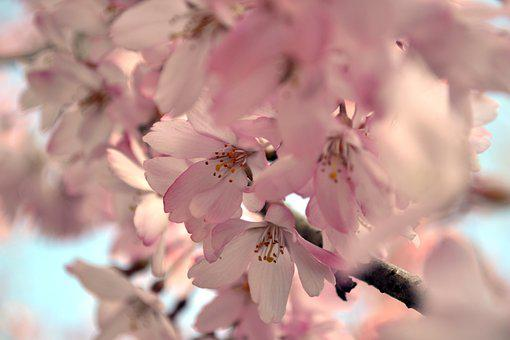 Cherry Blossom, Sakura, Flower, Cherry Blossoms