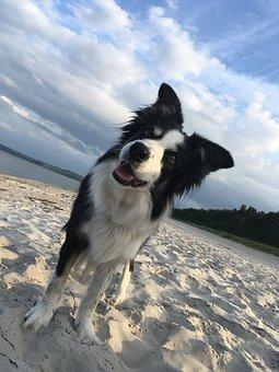 Border Collie, Dog, Herding Dog, Nature