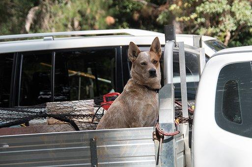 Dog, Domesticated, Pet, Canine, Truck, Utility, Vehicle