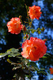 Roses, Front Yard, Flowers, Bloom, Flora, Plant
