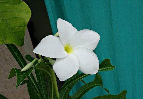 Plumeria Pudica, Flower, Plumeria, Apocynaceae