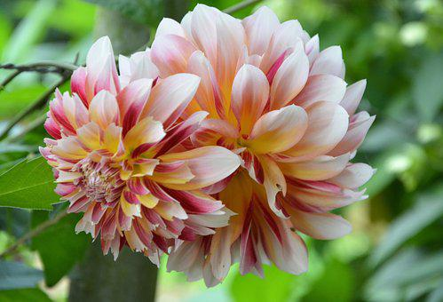 Flower, Dahlia, Bicolor, Plant, Horticulture, Botany